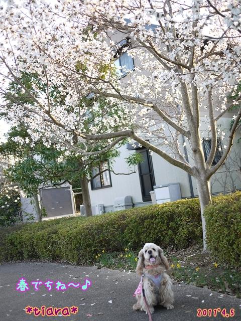 2011.春ティアラ.JPG