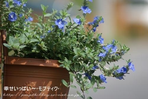 アメリカン・ブルー.JPG