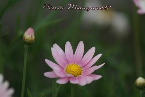 ピンクのマーガレット.JPG