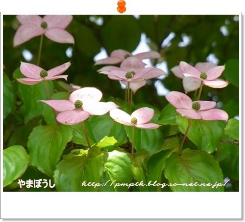 山ぼうしの花.JPG
