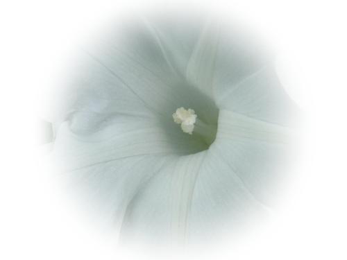 白い朝顔.JPG