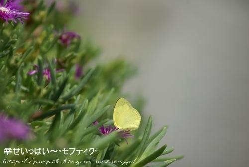 紋白蝶.JPG