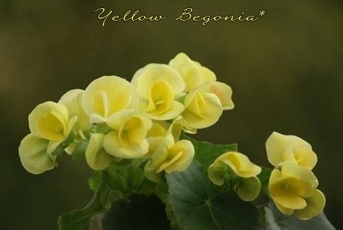 黄色いベコニア.JPG