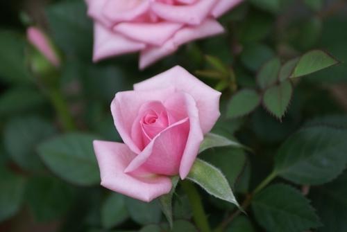 ミニバラ ピンク.JPG
